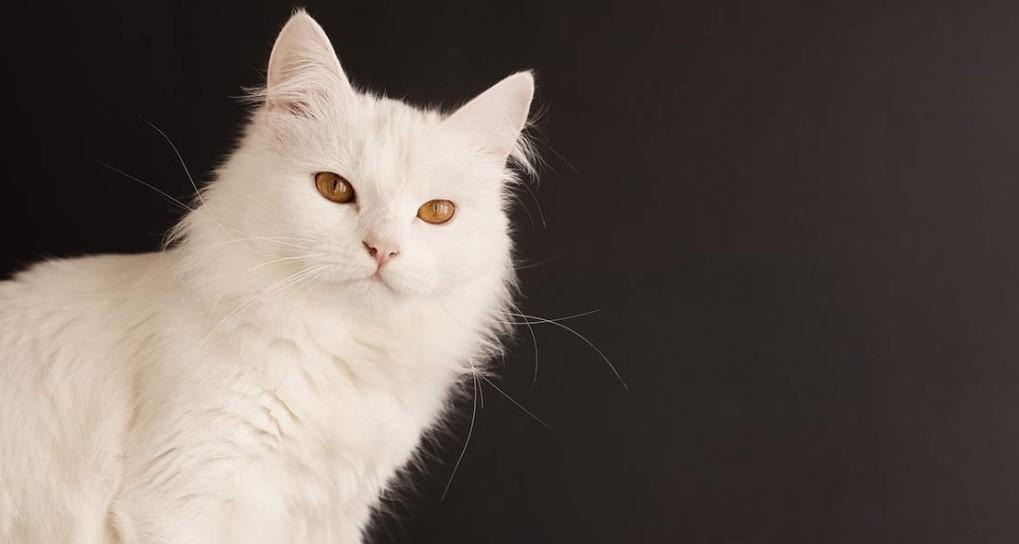 [Panduan Lengkap] Cara Merawat Kucing Anggora 2020