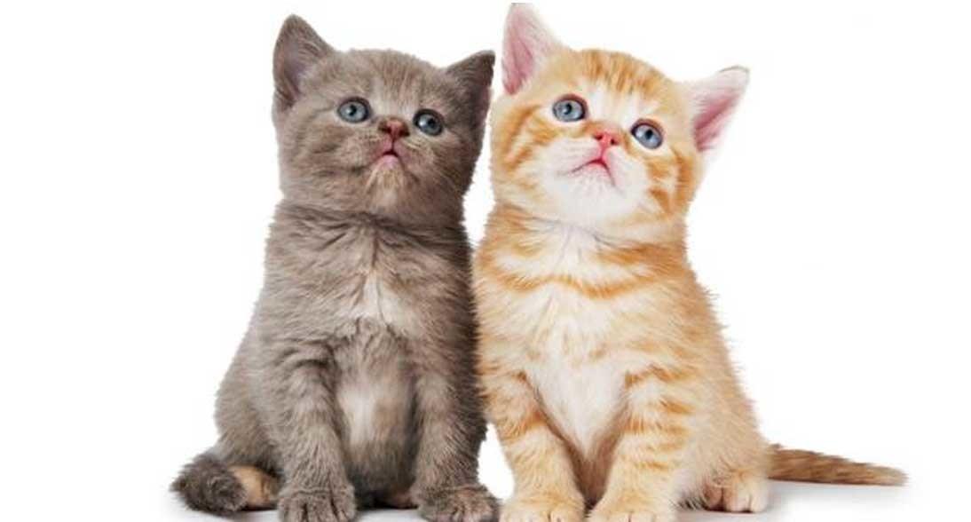 10 Gambar Kucing Imut Banget Kucing Co Id