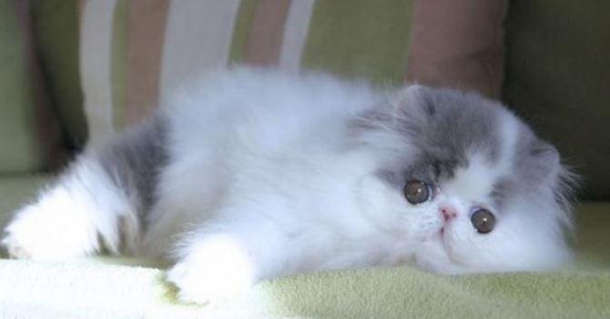Mengenal Kucing Persia Peaknose