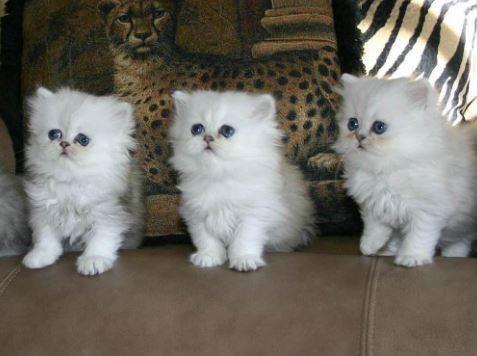 10 Gambar Kucing Persia Lucu Terbaru
