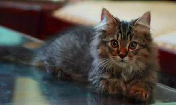 Mengenal Kucing Persia Medium Lengkap