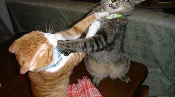 Kenapa Kucing Berkelahi