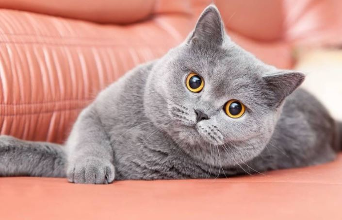 Tips Merawat Kucing British ShortHair