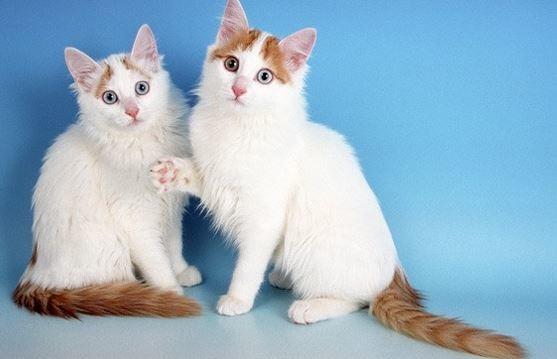 jenis ras kucing