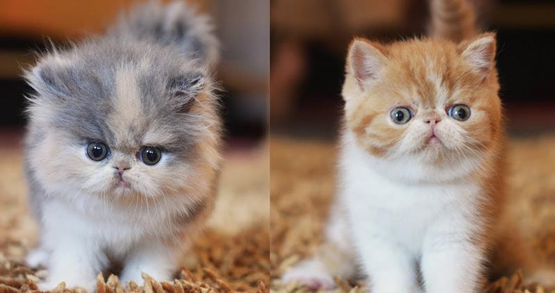 Kucing Persia dan Kucing Exotic Shorthair