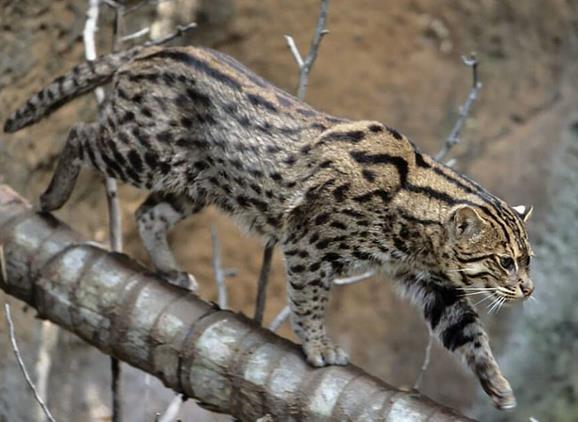 Kucing bakau atau fishing cat