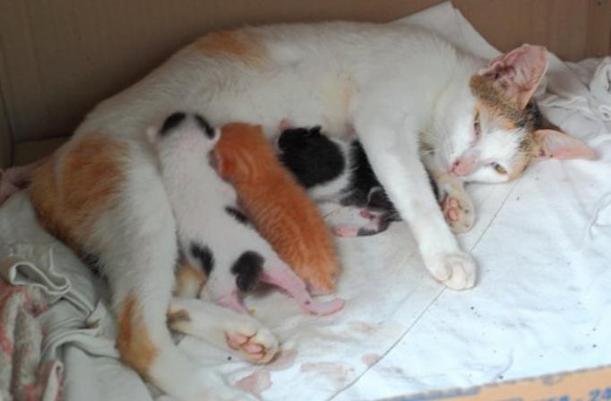 ciri ciri kucing mau melahirkan